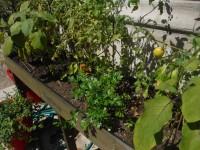 Tomatoes, Eggplant, etc.