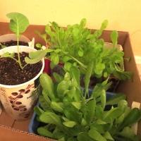 Lettuces & Broccoli Baby