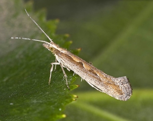 diamondbackmoth