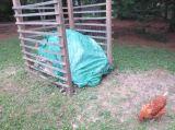 Compost & Chicken