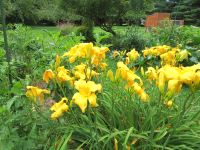 Giant Day Lilies