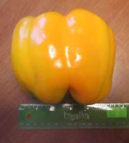 Golden Giant II Sweet Pepper Hybrid