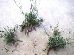Chicory Plants
