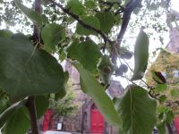 Bradfor Pear Tree