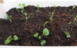 Zen Hybrid, Spinach, Lettuce