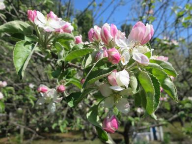 Granny Smith Blossoms