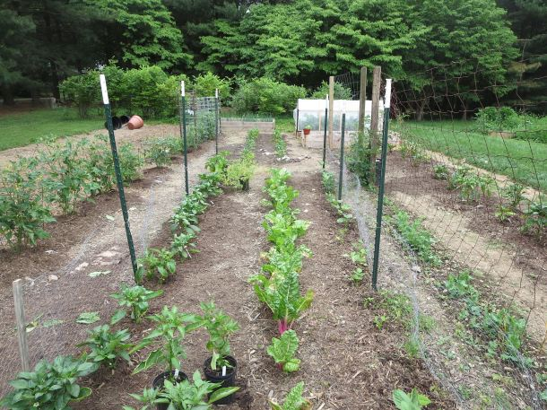 Peppers, Chard, Bush Beans, and Peas