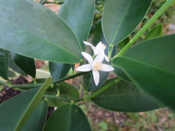 Kumquat Flower