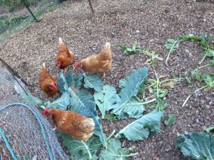 Chickens Eating Greens